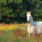 white horse feeding at pasture with flowers