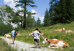 """THEMENBILD - Nach dem wiederholten Angriff von Kühen auf Wanderer ruft die österreichische Landwirtschaftskammer zu höchster Vorsicht auf und warnt vor """"unberechenbaren"""" Kühen. Unser Bild zeigt mehrere Kühe liegen an einem stark frequentierten Wanderweg am Wegrand, Aufgenommen am 30. Juli 2006 im Kalser Dorfertal. EXPA Pictures © 2014, Photographer: EXPA/ Johann Groder"""