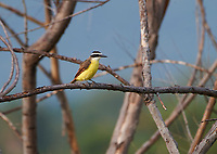 Great Kiskadee (Pitangus sulphuratus) perched in a tree, Jocotopec, Jalisco, Mexico