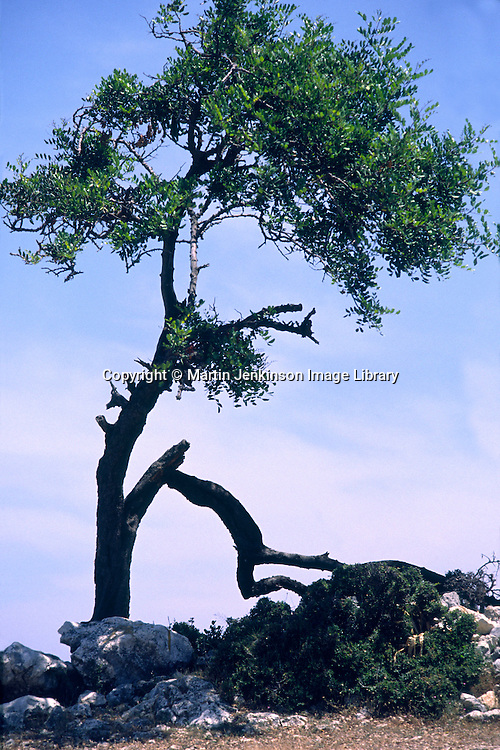 Branch that looks like a man holding up the tree, Kefalonia, Greece, June 1990