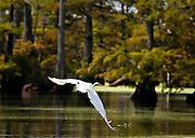 Egret takes off as we approach in boat on Reel Foot lake, near Tiptonville, TN. Reel Foot Lake