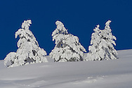 Alberto Carrera, Snowy Pines, Scots Pine, Pinus sylvestris, Guadarrama National Park, Madrid, Spain, Europe.