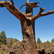Tree with the abstract form of a creature - Sunset Crater, AZ