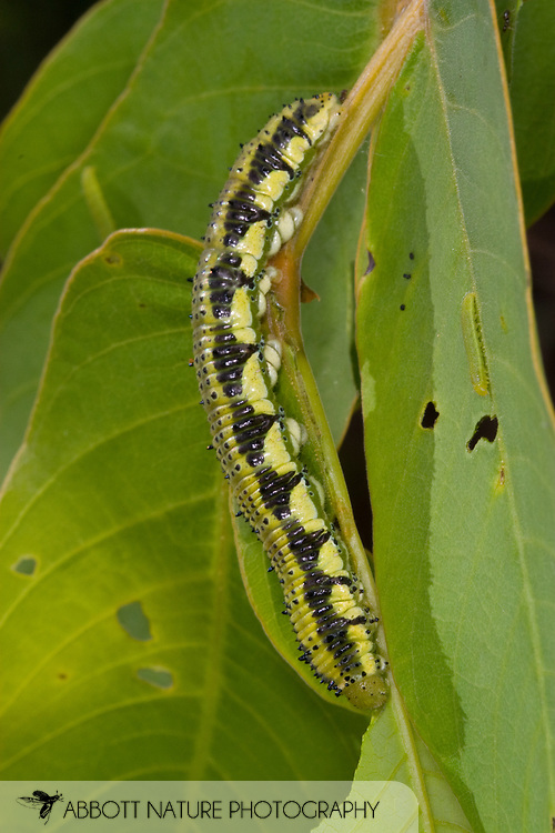 Orange-barred Sulphur (Phoebis philea) caterpillar feeding on Senna alata<br /> TEXAS: Travis Co.<br /> Brackenridge Field Laboratory; Austin<br /> 31-October-2008<br /> J.C. Abbott