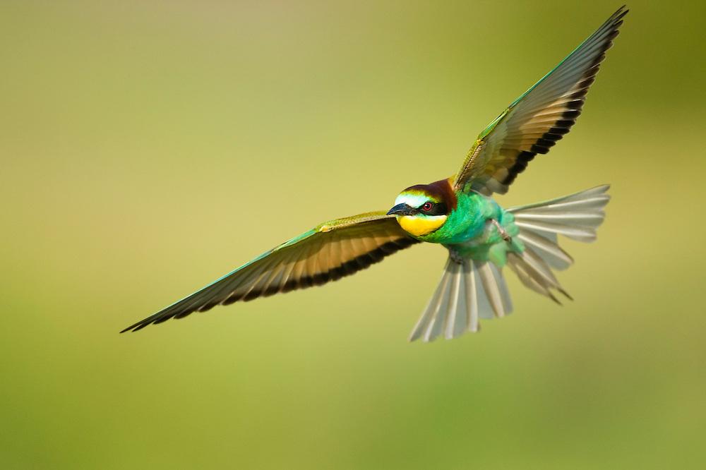 Bee-eater, Merops apiaster, in flight, Bienenfresser fliegend, near Nikopol, Bulgaria