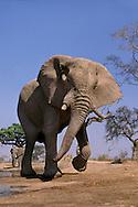 Elephant bull displaying aggression, Loxodonta africana, Okavango Delta, Botswana