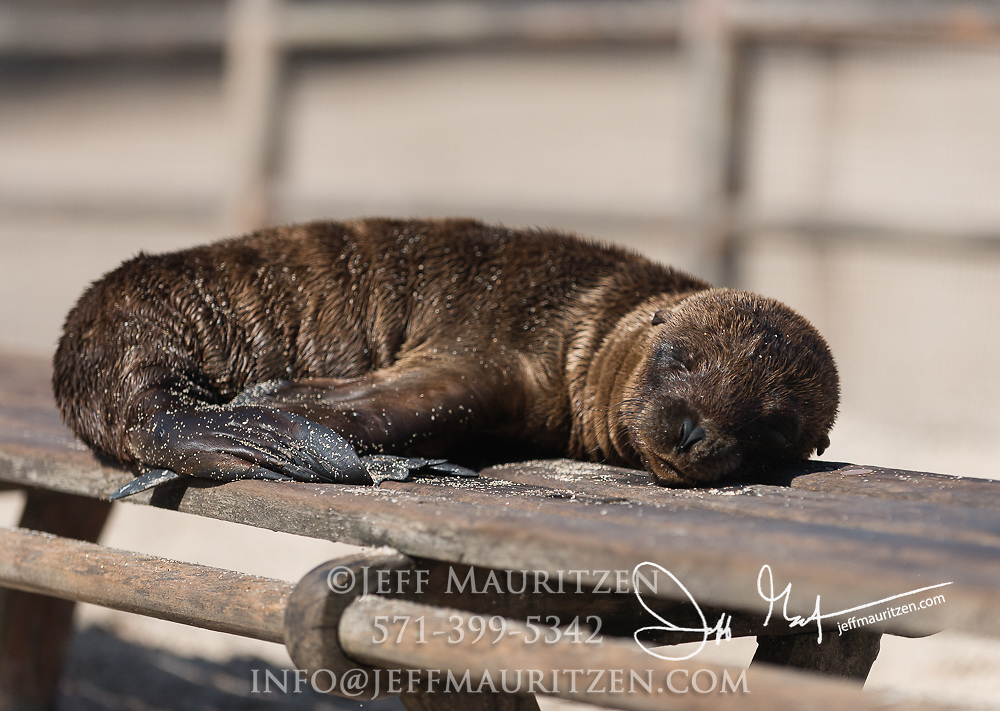 A Galapagos sea lion pup rests on a bench on Puerto Ayora, Santa Cruz island, Galapagos islands.