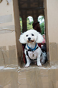 20/07/2018 repro free:  How much is that doggiie in the window.... Sweeney dog from Lackagh at The People Build at Galway International Arts Festival will see hundreds of volunteers, and the general public, create two large-scale and highly ambitious structures solely from cardboard. Under the guidance of artist Olivier Grossetete and his team, the public will transform thousands of cardboard boxes into a structure to replicate St. Nicholas&rsquo; Church in Galway. It is being constructed on Eyre Square in Galway today. On Sunday July 22 at 6pm the public will join forces in a massive celebratory demolition, which will see the cardboard building come tumbling down. <br /> <br /> A second structure will consist of a cardboard bridge being built at Waterside in Galway. It will be floated on the water, serving as a testimony to Galway&rsquo;s River Corrib Viaduct, once part of the famous Galway to Clifden Railway. The build will take place on Saturday July 21 and will be demolished on Sunday July 22 at 3pm. <br />  . Photo:Andrew Downes, XPOSURE