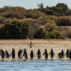 Penguins marching on the beach at Bahia Bustamante, Patagonia, Argentina.