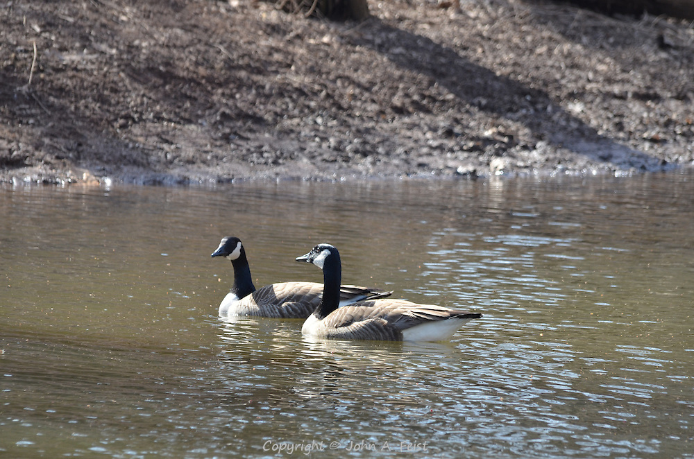 Two geese swimming on the Raritan River in Hillsborough, NJ