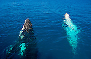 Humpback Whale  (Megaptera novaeangliae)  watching in Harvey Bay, Queensland, Australia