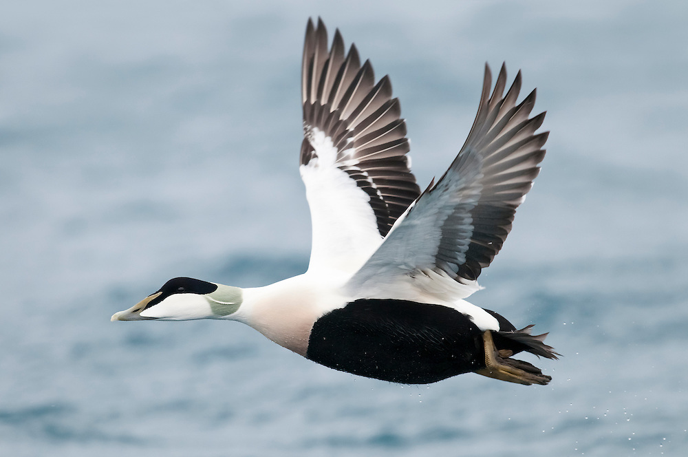 Common Eider, Somateria mollissima, male, Barents Sea, Norway
