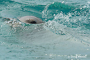 male Hawaiian monk seal, Monachus schauinslandi ( Critically Endangered Species ), peeks out of water, off East Island, looking for females, French Frigate Shoals, Papahanaumokuakea Marine National Monument, Northwest Hawaiian Islands, USA ( Central Pacific Ocean )
