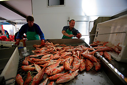UK CORNWALL NEWLYN 10JUN08 - Red Mullet being sorted in Newlyn Fish Market shortly after landing at Newlyn harbour in Cornwall, western England...jre/Photo by Jiri Rezac / WWF UK..© Jiri Rezac 2008..Contact: +44 (0) 7050 110 417.Mobile:  +44 (0) 7801 337 683.Office:  +44 (0) 20 8968 9635..Email:   jiri@jirirezac.com.Web:    www.jirirezac.com..© All images Jiri Rezac 2008 - All rights reserved.