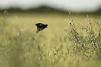 A male yellow bishop displays in the middle of a field of oats, Overberg, Western Cape, South Africa