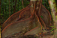 A Buttress Tree in the Australia Daintree Rain Forest