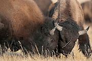 Bison bulls head butt during fall mating season, Grand Teton National Park, WY