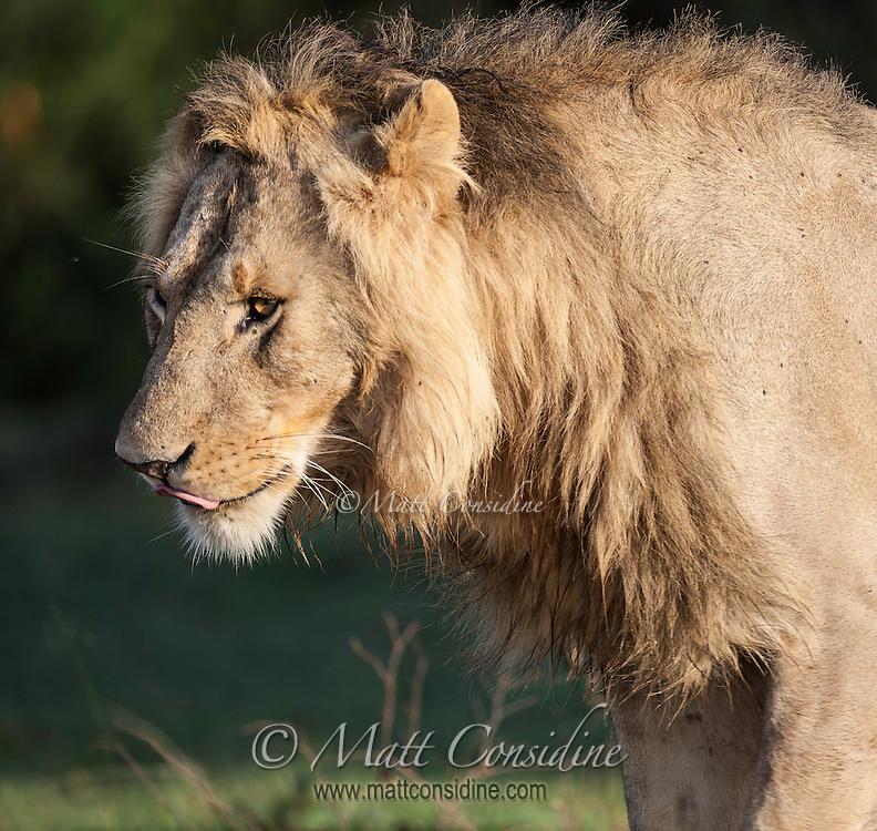 Young male lion in early morning light, Masai Mara, Kenya, Africa (by Wildlife Photographer Matt Considine)