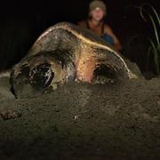 Sea Turtle nesting season in Cane Island. Los Santos,Panama