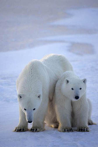 Polar Bear, (Ursus maritimus) Mother and cub. Hudson Bay. Churchill, Manitoba. Canada.