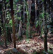 Dense leaf litter under palm forest, Vallee de Mai, Praslin, Seychelles