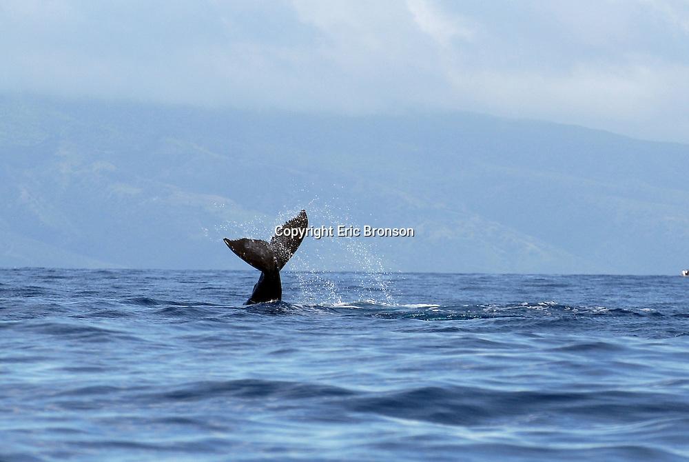 Lahaina, Maui, Hawaii- Whale Watch aboard the Wiki Wahine (Ultimate Whale Watch) March 12, 2009.