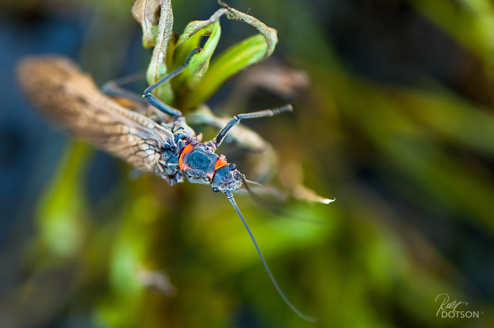 Salmonflies emerge early in the year and crawl over everything. They have the most amazing orange rings connecting body parts as highlighted in this image.