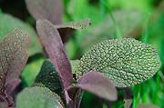 ADFTMA Sage leaves
