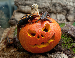 © Licensed to London News Pictures. 20/10/2015. Bristol, UK. Halloween for animals at Bristol Zoo.  Emperor Newts investigate a pumpkin. Photo credit : Simon Chapman/LNP