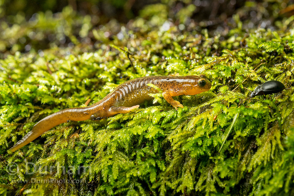 Cascade torrent salamander (Rhyacotriton cascadae) photographed near Mt. Defiance in the Columbia River Gorge, Oregon.