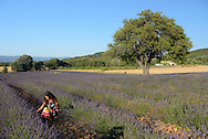 Lavender fields near Goult,Vaucluse,Provence,France,Europe<br /> MR