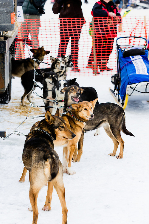 Sled dogs competing in the 41st Iditarod Trail Sled Dog Race looking for attention prior to the restart on Willow Lake in Southcentral Alaska.  Afternoon.