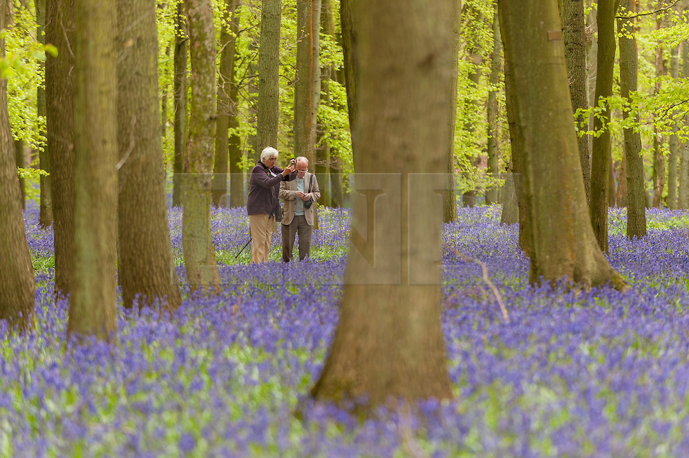 © Licensed to London News Pictures. 01/05/2015. Ringshall, Hertfordshire, UK. A couple photographs the bluebells. Just in time for the early May bank holiday, the bluebells are nearly in full bloom in Dockey Wood, part of the Ashridge Estate. This wood is renowned for its carpet of bluebells every spring and is regarded as one of the finest examples in the country. Photo credit : Stephen Chung/LNP