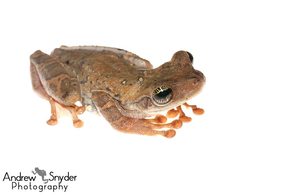 Manaus slender-legged tree frog, Osteocephalus taurinus, Chenapau, Guyana, March 2014