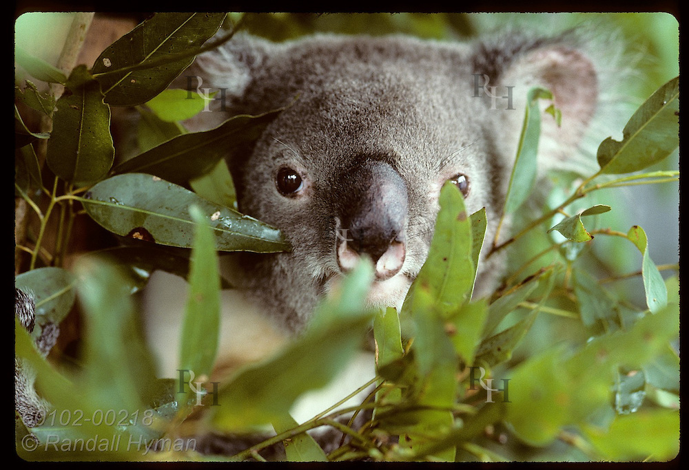 Adult male koala peers out amid eucalyptus leaves in its cage at Univ of Queensland; (h) Brisbane Australia