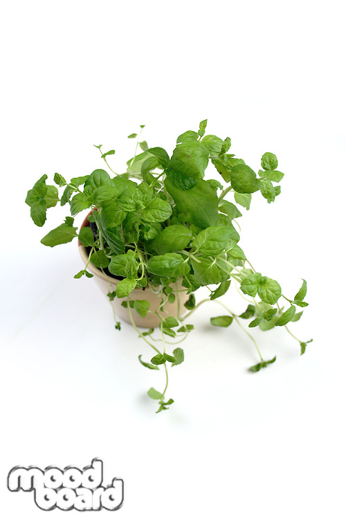 Studio shot of fresh oregano in pot