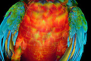 Torso of a hybrid of crimson macaw [Ara chloroptera]) and blue and gold macaw [Ara ararauna] (Ara ararauna). The plumage of the breast is orange-yellow, the wings are coloured green-blue coloured. He belongs to the family of the authentics parrots (Psittacidae) and is one of the largest parrots in the world, head-to caudal length is approx 92 cm. It is characterized by its bright multi-color. Sex determination on the basis of plumage color is impossible. Home are the tropical forests of South America. Photographed at Parrot Park Bochum. / Torso eines Hybriden aus Dunkelrotem Ara (Ara chloroptera) und Gelbbrust-Ara (Ara ararauna). Das Gefieder der Brust ist orange-gelb, die Fluegel sind gruen-blau gefaerbt.  Er gehoert zur Familie der Eigentlichen Papageien (Psittacidae) und ist einer der groessten Papageien der Welt, Kopf- Schwanzlaenge betraegt ca. 92 cm. Er zeichnet sich, wie viele Papageienarten, durch seine leuchtende Mehrfarbigkeit aus. Keine Geschlechterbestimmung anhand der Gefiederfarbe moeglich.Heimat sind die Tropenwaelder Suedamerikas. Fotografiert im Papageienpark Bochum.