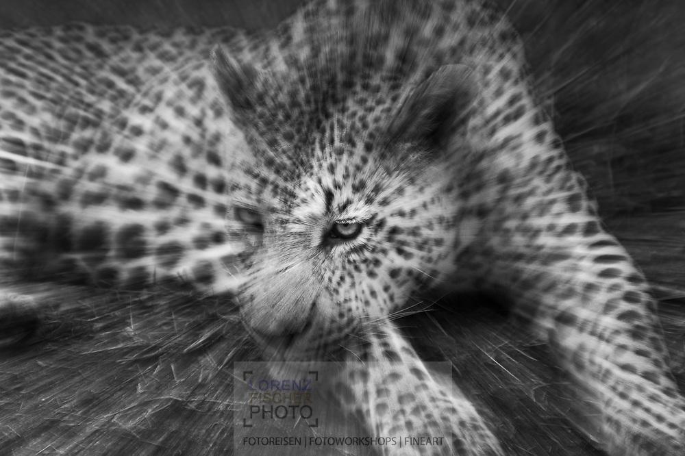 Old male leopard (Panthera pardus) in the Mala Mala Game Reserve, in the west of the Kruger National Park, South Africa<br /> <br /> Maennlicher Leopard (Panthera pardus) im Mala Mala Private Game Reserve im Westen des Krueger Nationalparks zu Beginn der Regenzeit im November