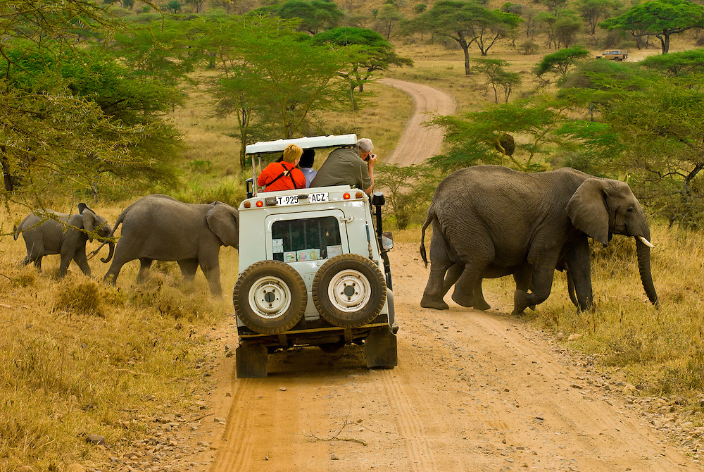 Tourists on safari peer out of the pop up roof of a Mountain Travel Sobek safari vehicle at a herd of African Elephants crossing the road, Serengeti National Park, Tanzania