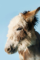 Donkey against blue background close-up of head side view