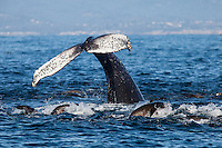 Humpback whale (Megaptera novaeangliae) and California sea lions (Zalophus californianus) dive for anchovies in the Monterey Bay.
