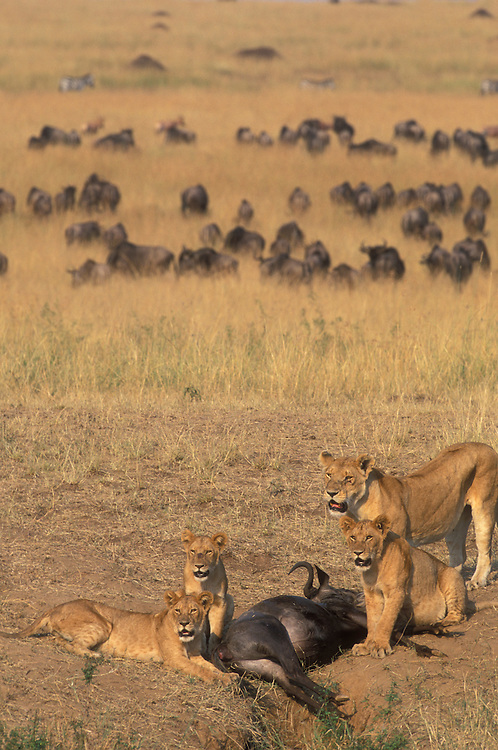 Africa, Kenya, Masai Mara Game Reserve, Lion pride (Panthera leo) feeding on Wildebeest killed along banks of Mara River