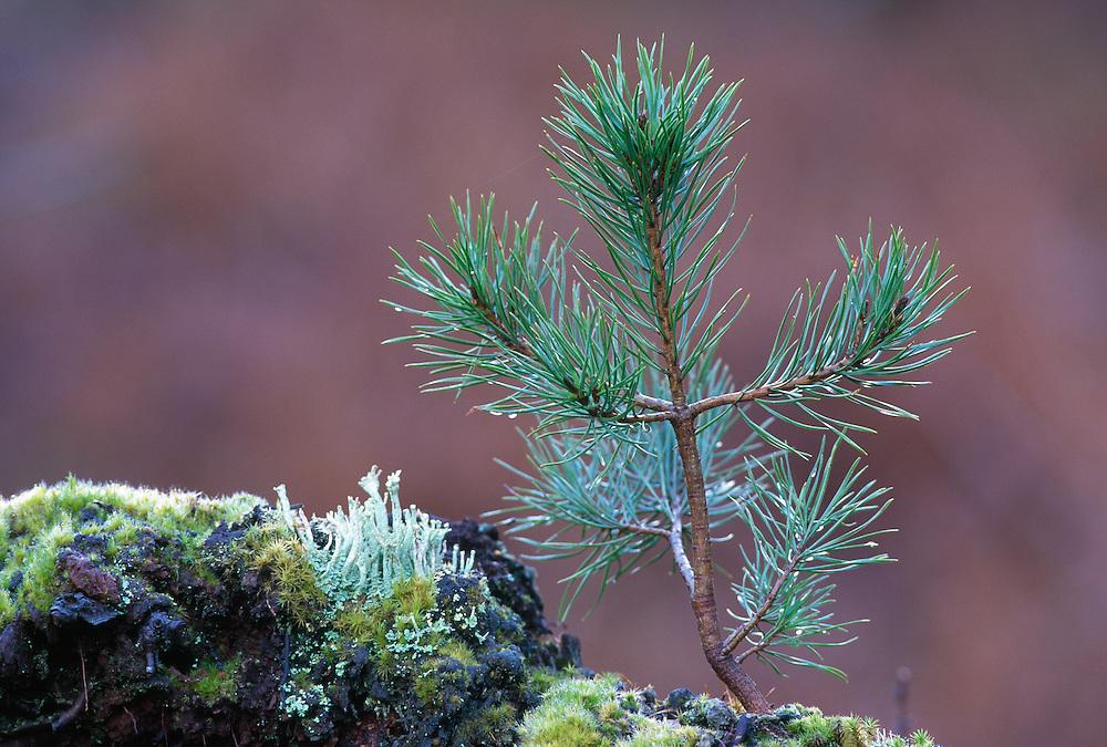 Scots pine sapling