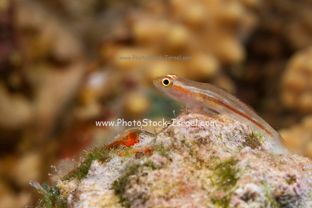 Underwater photography of a Goby fish Photographed in the Red Sea Israel