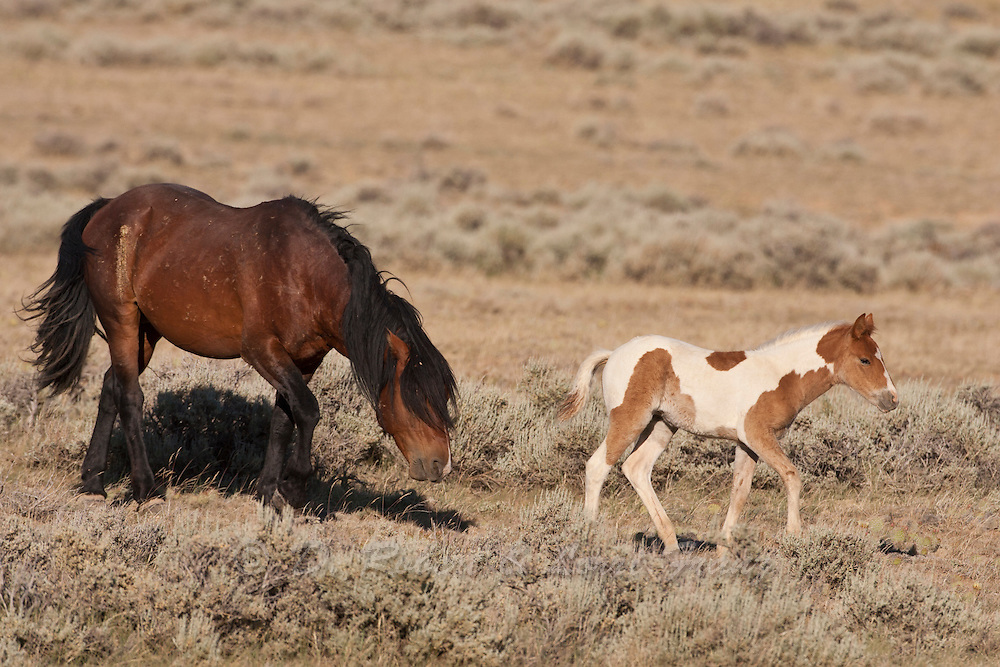 Wild horse or mustang, band stallion herding a foal