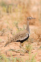 Female Northern Black Korhaan, Kgalagadi Transfrontier Park, Northern Cape, South Africa