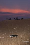Australian flatback sea turtle hatchling crawls down nesting beach to ocean, Natator depressus, Torres Strait, Queensland, Australia