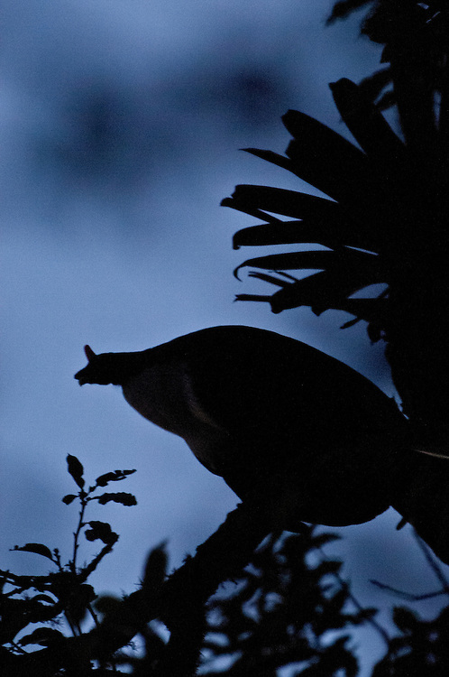 Silouette of a Horned Guan (Oreophasis derbianus) and a bromeliad in the cloud forests of El Triunfo Biosphere Reserve, in the Sierra Madre del Sur range in Chiapas, Mexico
