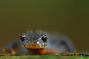 Alpine Newt (Triturus alpestris) male, Kiel, Germany | Diese Bergmolch-Männchen  (Triturus alpestris) hat im Frühsommer sein Laichgewässer verlassen. In der Evolution der amphibischen, also zeitweise vom Wasser unabhängigen Lebensweise, mußten sich bei den Lurchen Drüsen entwickeln, die die Augen feucht halten.
