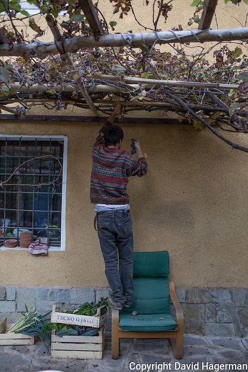 Filipo Laguzzi harvests grapes from an arbor outside the farmhouse of  Birrificiao Agricole di Montcalieri